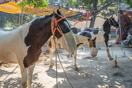 Horses tied up and eating from nosebags at Sonepur horse fair or mela in rural Bihar, India
