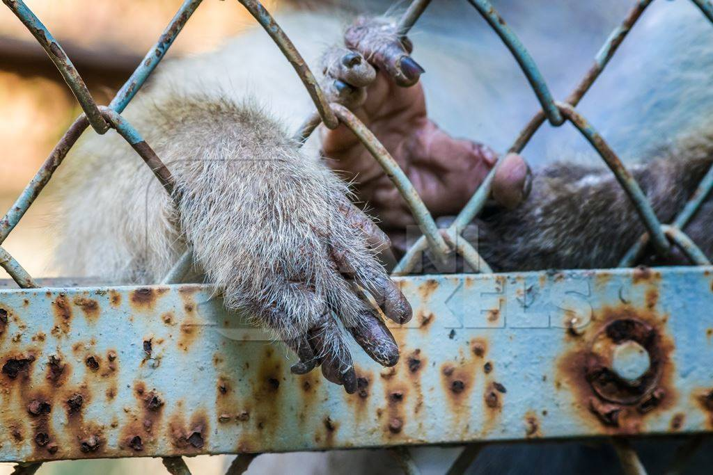 Macaque monkey reaching hands through fence of cage of Mumbai zoo