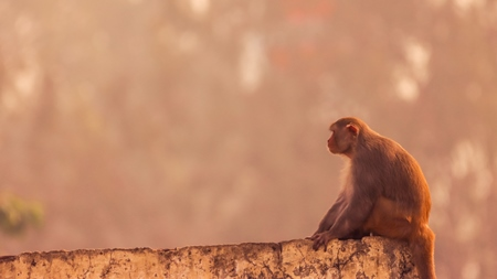 Photo of one Indian macaque monkey sitting on wall in India