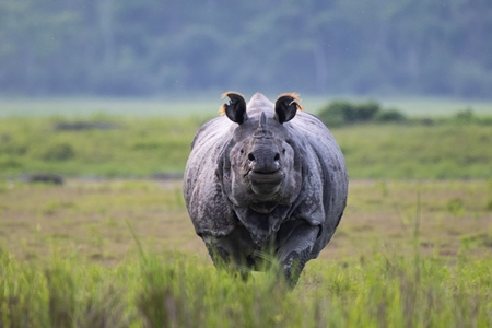One-horned Indian rhino at Kaziranga National Park, Assam