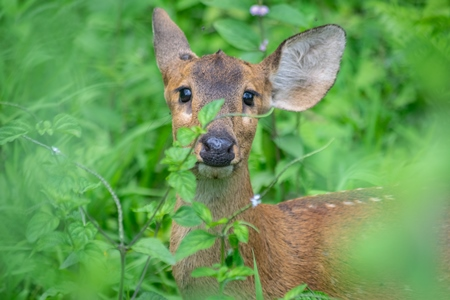 Small brown hog deer in green vegetation at Kaziranga National Park