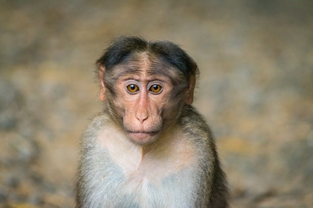 Sad and lonely looking macaque monkey
