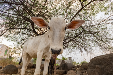 White Indian cow calf on a farm in rural Maharashtra, India, 2021