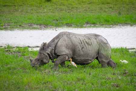 Indian one-horned rhino with green vegetation in Kaziranga National Park in Assam in India