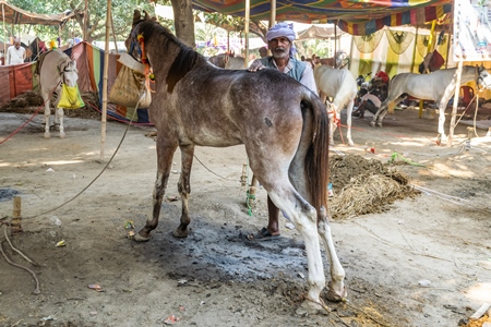 Horses tied up with handler under tents at Sonepur horse fair or mela in rural Bihar, India