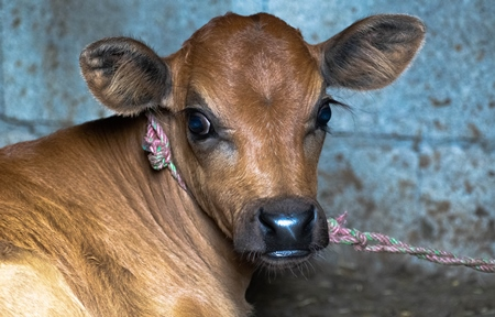 Photo of farmed Indian dairy cow calf in India