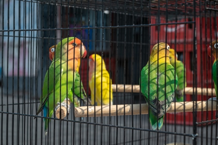 Exotic colourful lovebirds (Agapornis fischeri) in cages for sale as pets at market at Sonepur cattle fair in Bihar, India, 2017