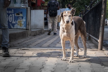 Photo of neutered or spayed Indian street dog or stray dog with notch in ear on the road in urban city in Maharashtra in India, 2020