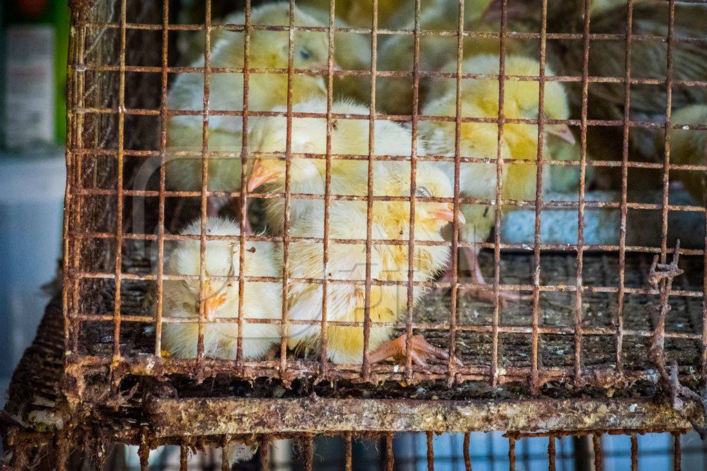 Yellow chicks on sale in cage at Crawford market in Mumbai
