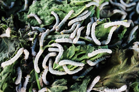 Close up of silkworms eating mulberry leaves