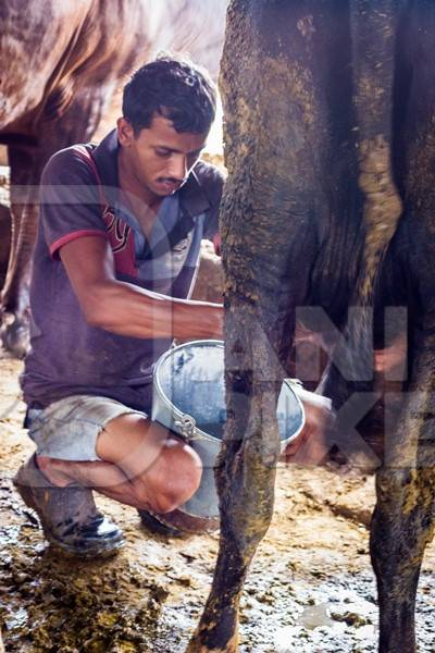Man milking a dairy cow in a bucket in a dirty shed in an urban dairy in Maharashtra