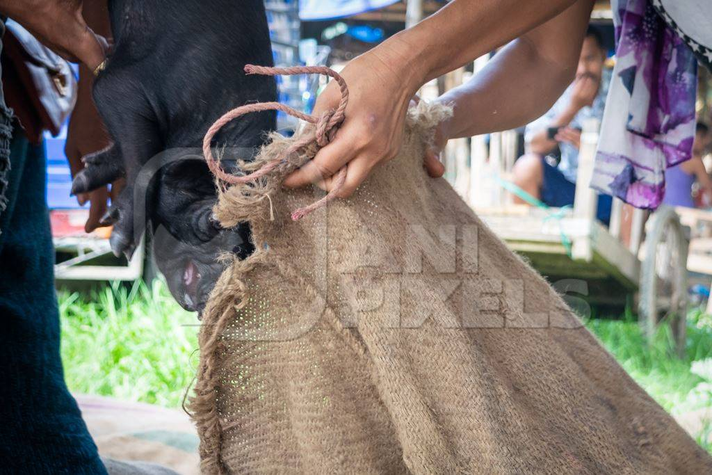 Pigs being put into sacks on sale for meat at the weekly animal market