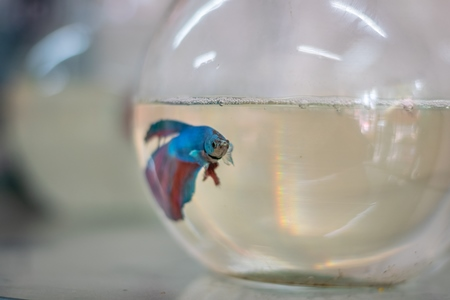 One lonely betta fish or siamese fighting fish in a small fishbowl or goldfish bowl on sale as a pet animal in pet shop in Pune, India