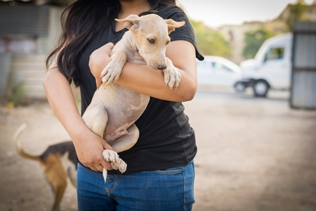 Animal rescue volunteer carrying Indian stray puppy dog or street puppy dog, India