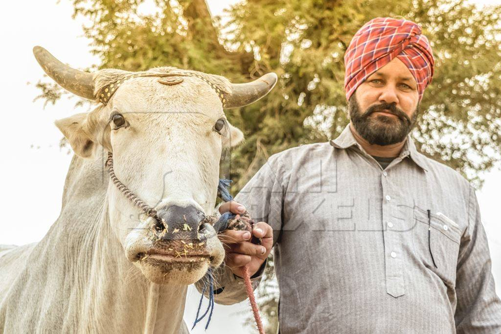 Man holding white bull with horns and a nose rope at a cattle fair in a field in Nagaur in Rajasthan