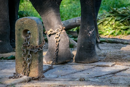 Captive elephant in chains at an elephant camp in Guruvayur in Kerala to be used for temples and religious festivals