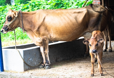 Photo of farmed Indian dairy cow with calf on a farm in India