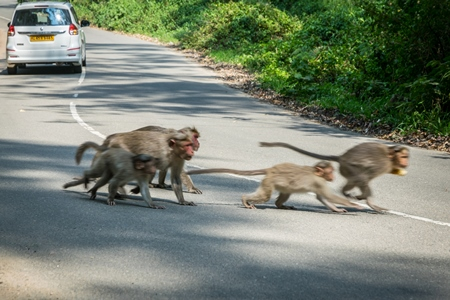Group or troupe of Indian macaque monkeys crossing a dangerous road with traffic in the Western Ghat hills in Kerala, India