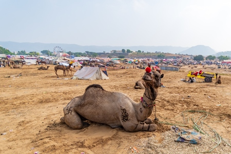 Decorated Indian camels in a field at Pushkar camel fair or mela in Rajasthan, India, 2019