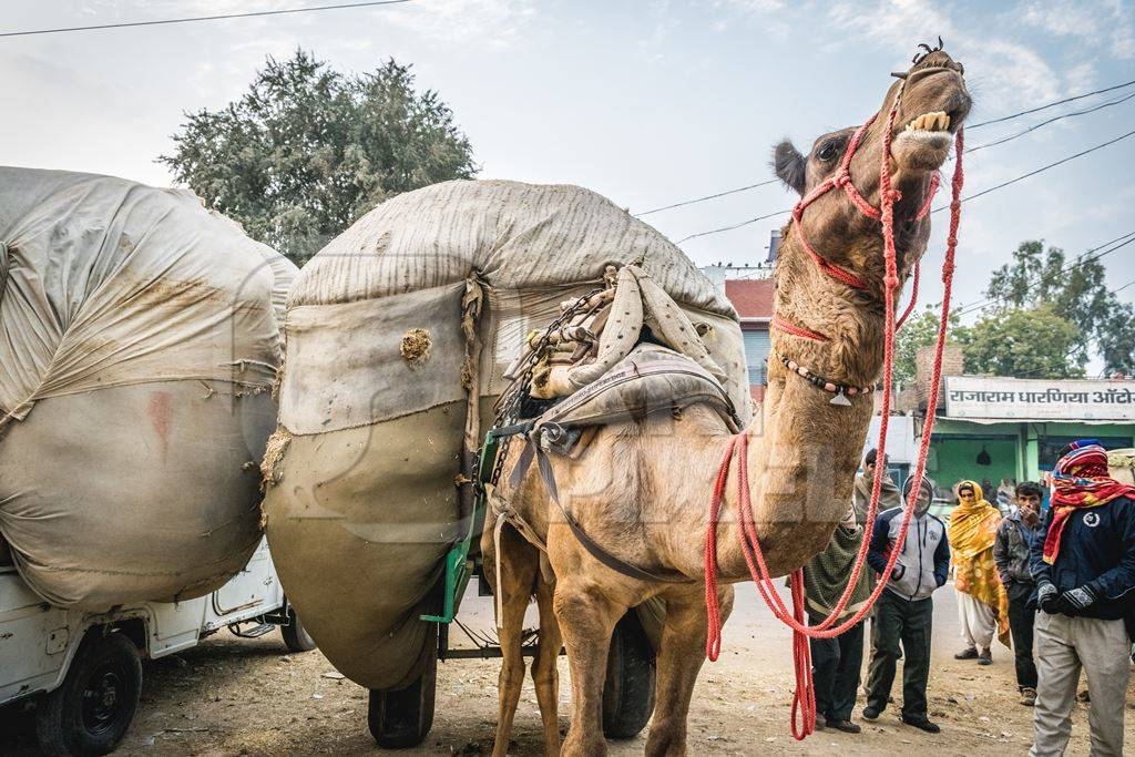 Working camel overloaded with large load on cart and men in Bikaner in Rajasthan