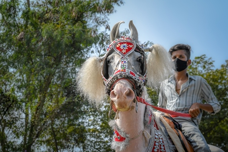 decorated white horse used as Indian wedding horse for baraat, India