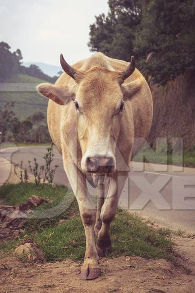 Cow standing on road in the hill station in Munnar