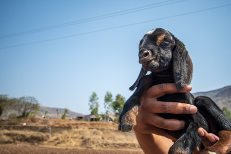 Person holding small cute baby Indian goat with blue sky background in rural Maharashtra, India