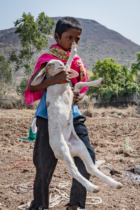 Indian nomad boy carrying baby sheep or lamb in a field in rural Maharashtra, India