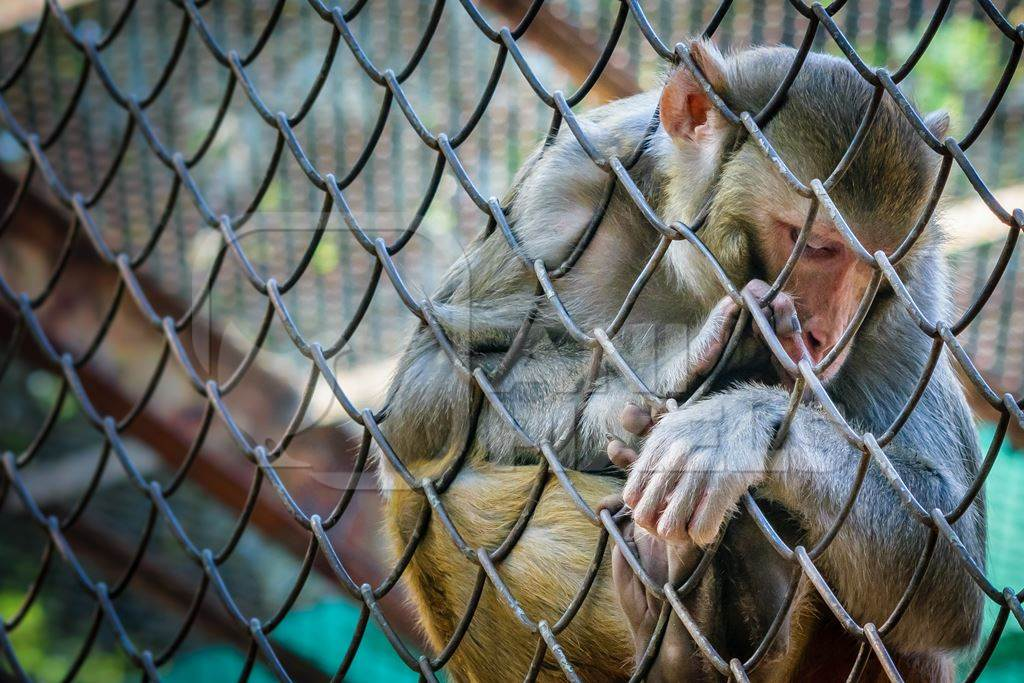Sad macaque monkey behind fence in cage in Byculla zoo