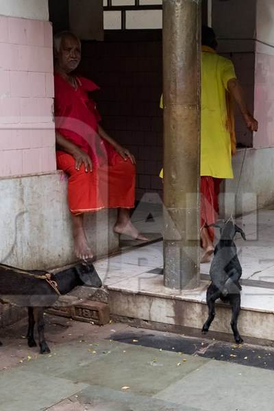 Baby goat being dragged for slaughter at Kamakhya temple