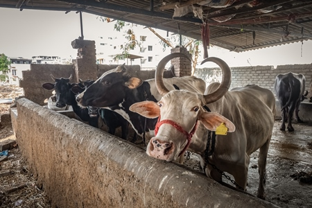 Farmed Indian buffaloes and dairy cows on a dark and crowded urban dairy farm in a city in Maharashtra, India