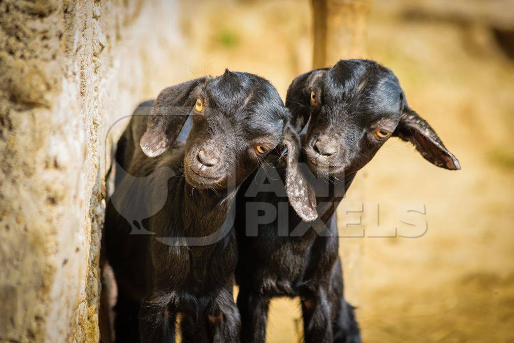 Two small black baby goats in a village in rural Bihar