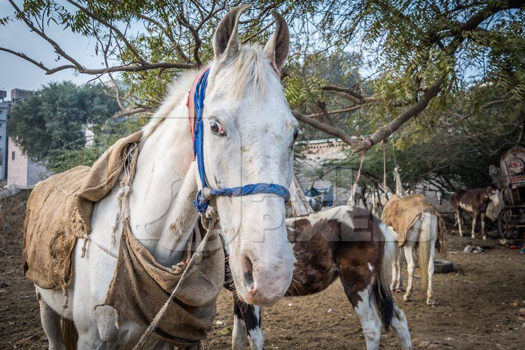 White horse used for marriage standing in a field in Bikaner