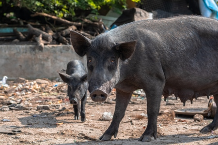 Indian urban or feral pigs in a slum area in an urban city in Maharashtra in India