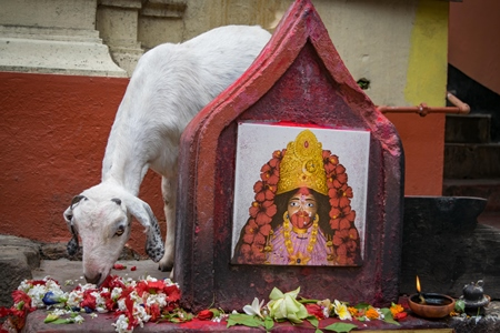 Indian goat at Kamakhya temple, location for animal sacrifice, Guwahati, India