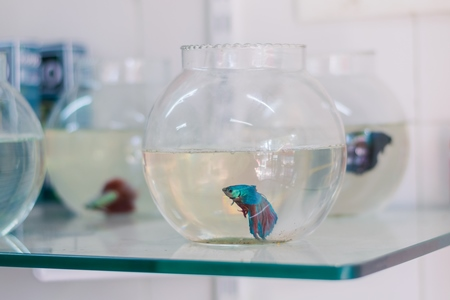 Many blue siamese fighting fish or betta fish captive in fish bowls on sale as pets at a pet shop in a city in Maharashtra, 2020