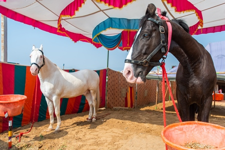 Indian horses on sale at a horse fair inside Pushkar camel fair in Pushkar, Rajasthan in India