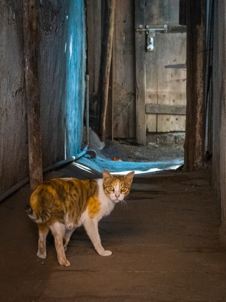 Indian street cat in an alley in the urban city of Pune in Maharashtra, India