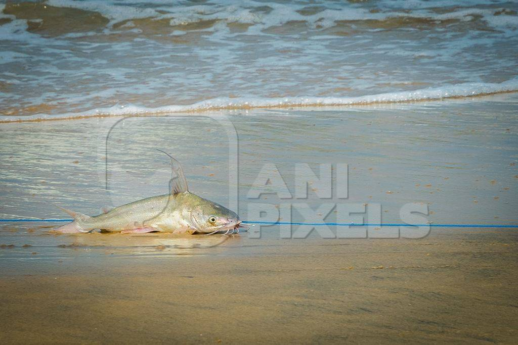 Fish with hook in mouth being dragged along on a fishing line on a sandy beach