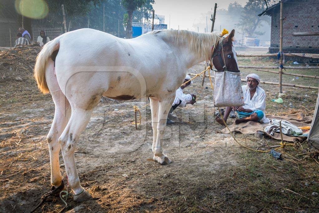 White horse with face in nosebag in field at Sonepur horse fair in Bihar