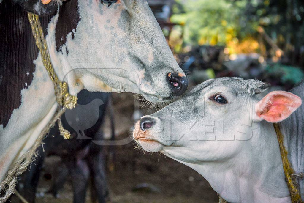 Mother cow and calf in an urban dairy in Maharashtra