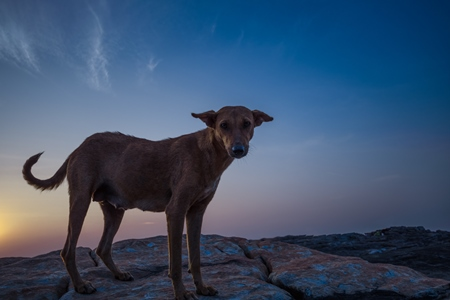 Dark silhouette of Indian street dog standing on rocks on the beach with sunset background in Maharashtra, India