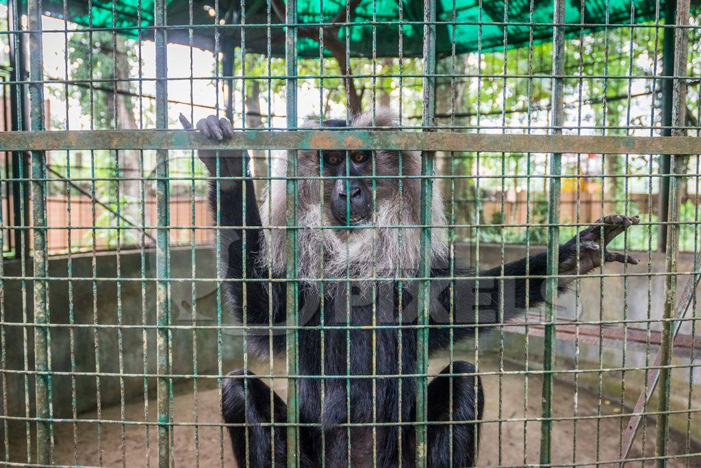 Solo Lion tailed macaque monkey held captive in a barren cage in captivity at Thattekad mini zoo