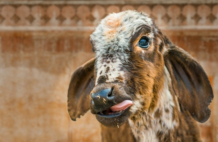 Composite image of small cute brown Indian calf with tongue out, India