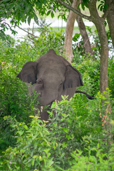 Indian elephant or Asian elephant hidden in vegetation in Kaziranga National Park in Assam in India