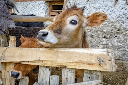 Orange Indian cow with horns in a wooden pen on a rural dairy farm in Ladakh in the HImalaya mountains in India