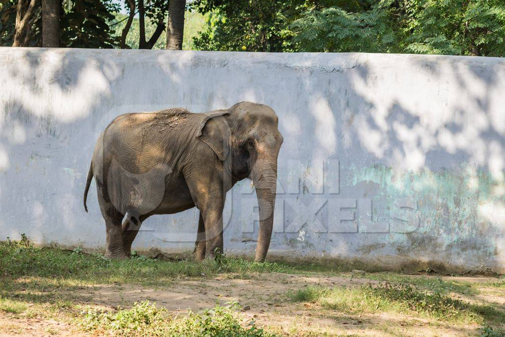 Captive Indian elephant in an enclosure in captivity in a zoo in Patna