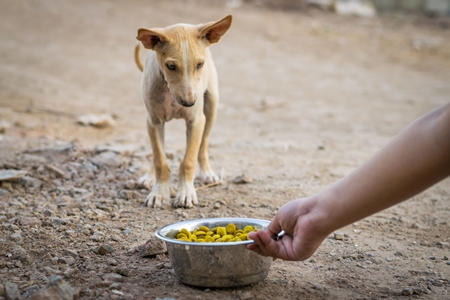 Animal rescue volunteer feeding stray Indian street puppy dog, India