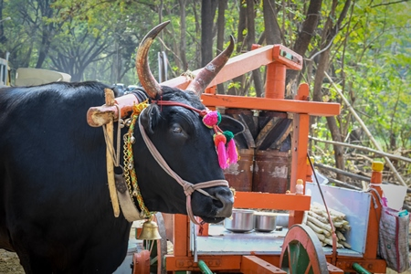 Large Indian bullock or cow harnessed to sugarcane press called a kolu to make sugarcane juice for tourists, in Maharashtra in India
