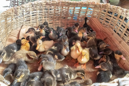Ducks and ducklings on sale in baskets at a live animal market in the city of Imphal in Manipur in the Northeast of India